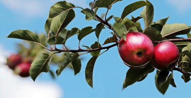 Větev s jablky
